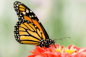 Circadian clocks in a monarch butterfly's antennae help calibrate its sun compass.